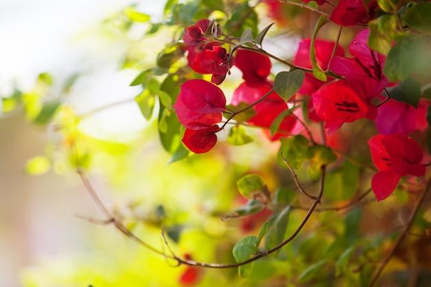 Pianta di bougainvillea glabra