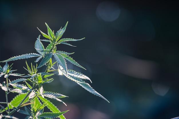Pianta di cannabis