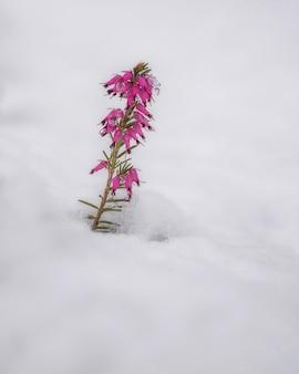 Pianta di erica in primavera dopo una tempesta di neve