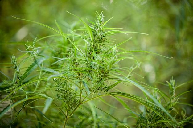 Pianta di marijuana naturale