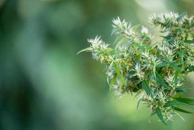 Pianta di marijuana
