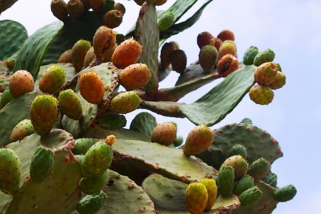 Pianta di opuntia ficus-indica (fico d'india)