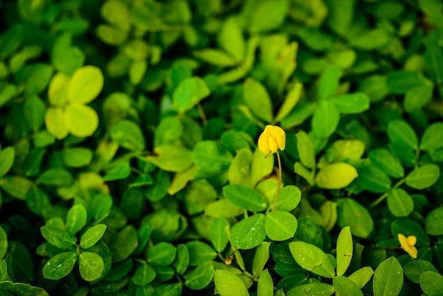 Pianta di pinto peanut, piccolo fiore giallo