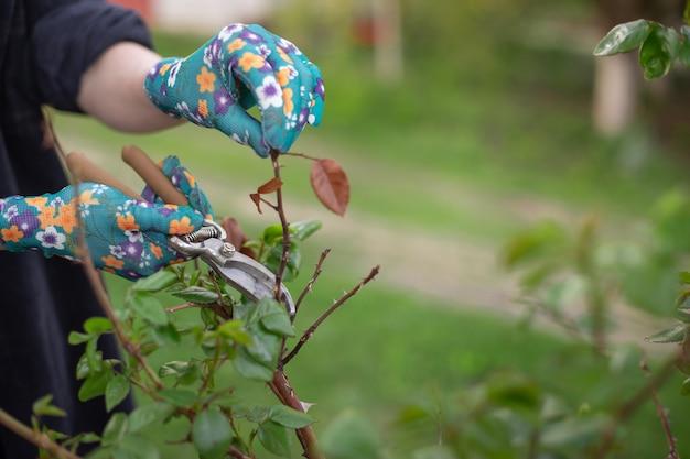 Pianta di potatura e taglio in giardino in primavera