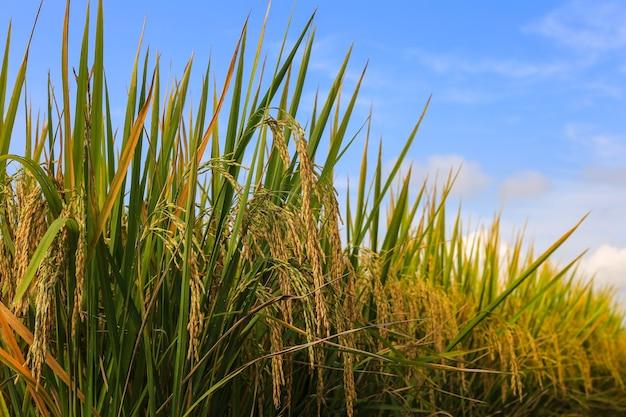 Pianta di riso nella risaia in tailandia