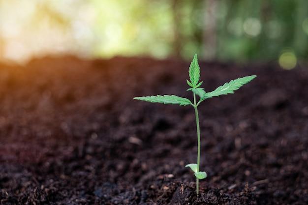 Pianta di un piccolo semenzale di cannabis nel terreno