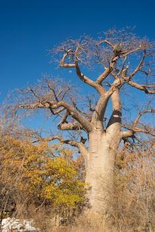 Pianta e luna del baobab nella savana africana con chiaro cielo blu. botswana