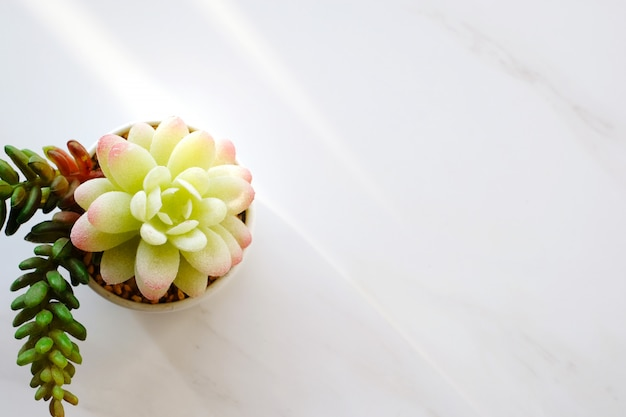 Pianta grassa su fondo di marmo bianco con lo spazio della copia, fondo di progettazione della pianta della casa, insegna per testo