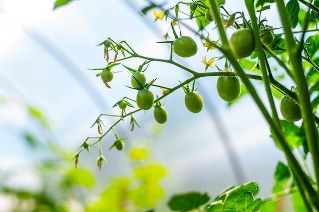 Pianta in crescita. ramoscello dei pomodori con i fiori e il piccolo primo piano di frutti verdi sulla serra