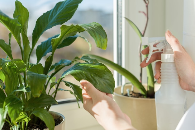 Pianta in vaso sul davanzale della finestra e mani donna con spray