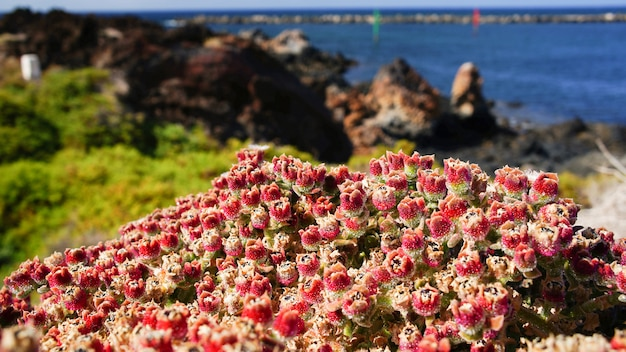 Pianta rossa a lanzarote, isole canarie, spagna