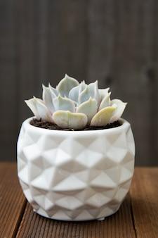 Pianta succulenta di echeveria isolata. pianta d'appartamento decorativa in vaso elegante bianco.