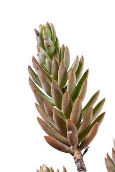 Pianta succulenta di sedum rubens