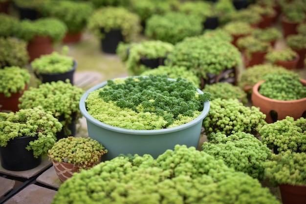 Pianta succulenta in miniatura bella