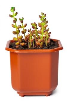 Pianta succulente in vaso isolata su bianco