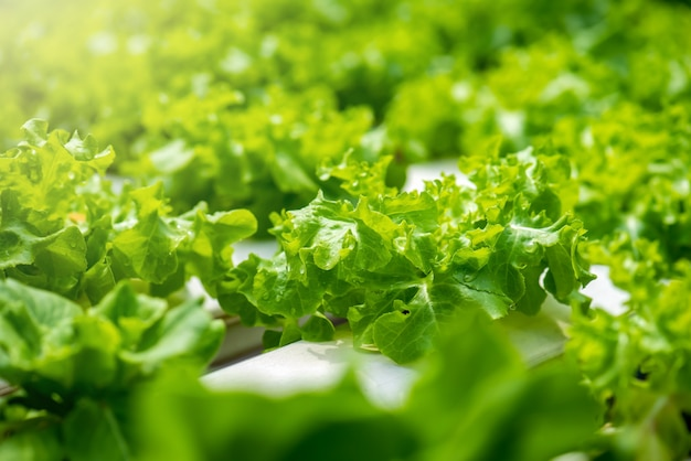 Pianta vegetale della lattuga verde e della quercia rossa organica