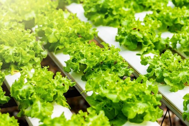 Pianta vegetale della lattuga verde organica