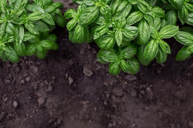 Pianta verde organica del basilico nel giardino
