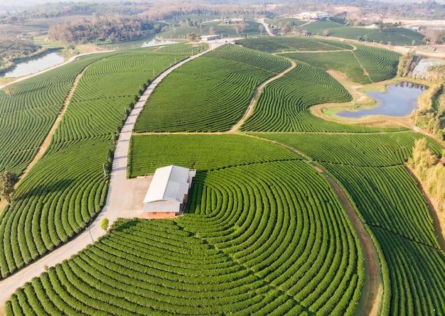Piantagione a terrazze del tè verde del paesaggio sulla collina