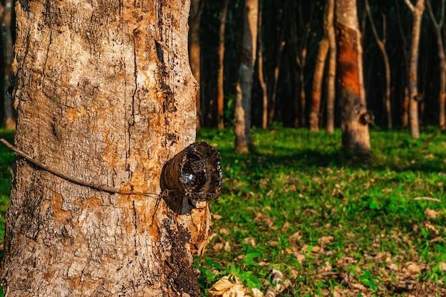 Piantagione dell'albero di gomma o gomma dell'albero in tailandia del sud