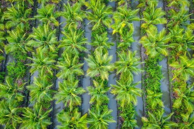 Piantagione della palma da olio o azienda agricola di industria agricola del campo di verde della noce di cocco in tailandia