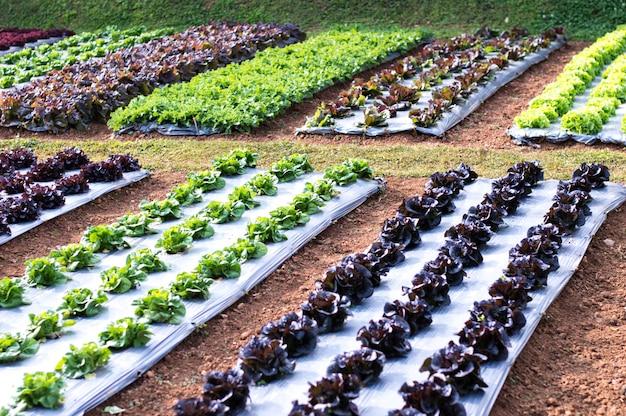 Piantagione di alberi di insalata