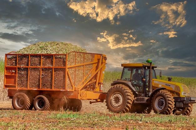 Piantagione di canna da zucchero raccolta automatica