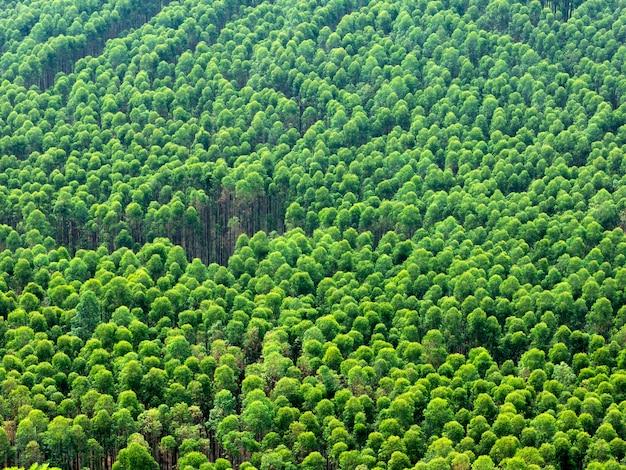 Piantagione di eucalipto in brasile - agricoltura di carta di cellulosa - vista aerea