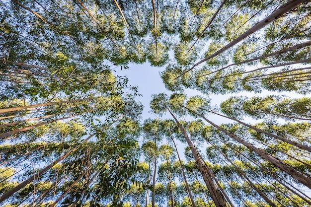 Piantagione di eucalipto per l'industria del legno nelle campagne del brasile.
