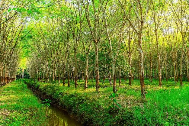 Piantagione di gomma del lattice o albero della gomma del para in tailandia del sud