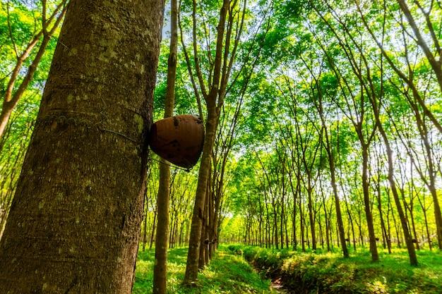 Piantagione di gomma del lattice o albero di gomma para nella tailandia del sud