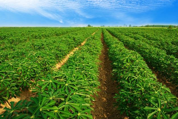 Piantagione di manioca a nord-est della thailandia