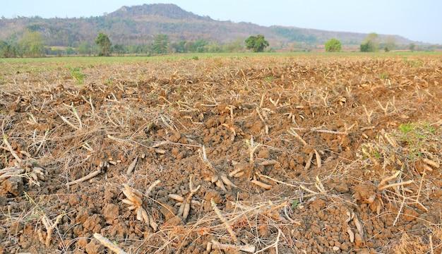 Piantagione di manioca e raccolto in thailandia