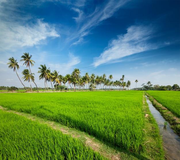 Piantagione di riso, agricoltura, india