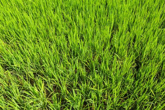 Piantagione di riso, sfondo di agricoltura