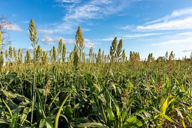 Piantagione di sorgo. coltivazione del sorgo per l'alimentazione animale. sorgo ancora verde e fresco.