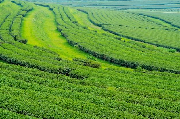 Piantagione di tè, azienda agricola del tè di oolong, fondo verde del paesaggio, foglia verde