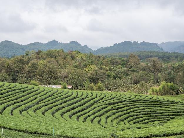 Piantagione di tè biologico sulla collina.