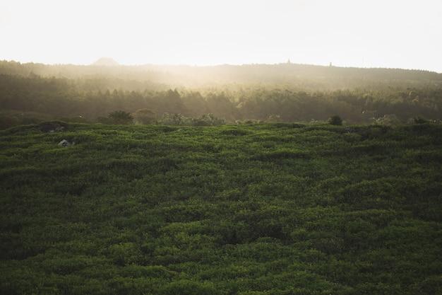 Piantagione di tè con il primo piano delle foglie di tè con le montagne, il blu e il verde nebbiosi