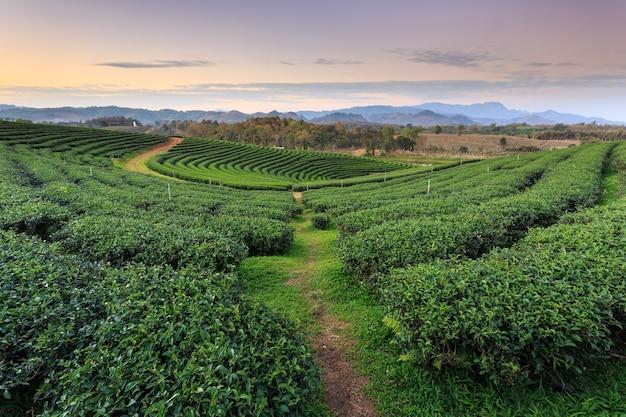 Piantagione di tè in chiang rai a nord della thailandia