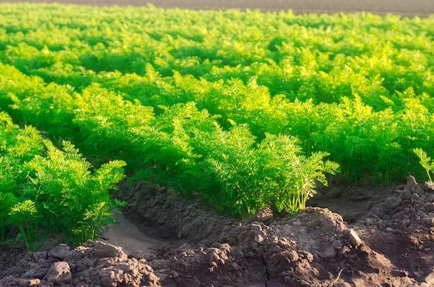 Piantagioni di giovani carote crescono nel campo