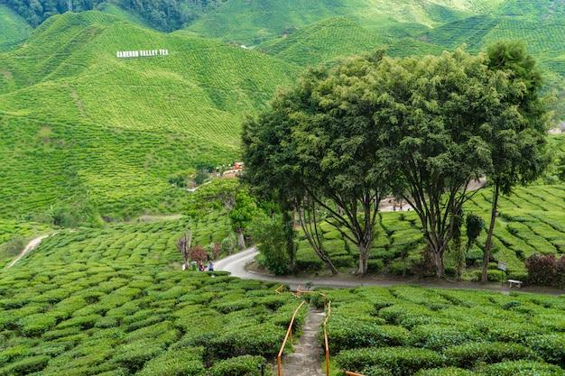 Piantagioni di tè cameron valley. verdi colline negli altopiani della malesia. produzione di tè. cespugli verdi di tè giovane.