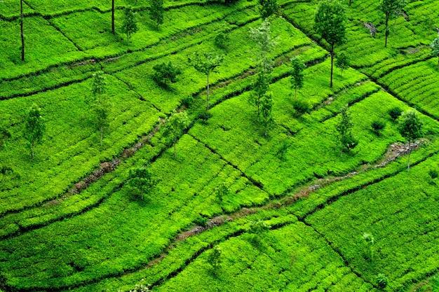 Piantagioni di tè nello sri lanka
