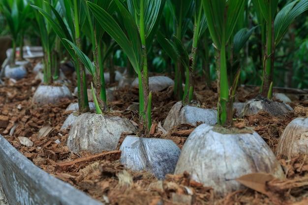 Piantare cocco, una piccola radice di cocco verde dal cocco marrone