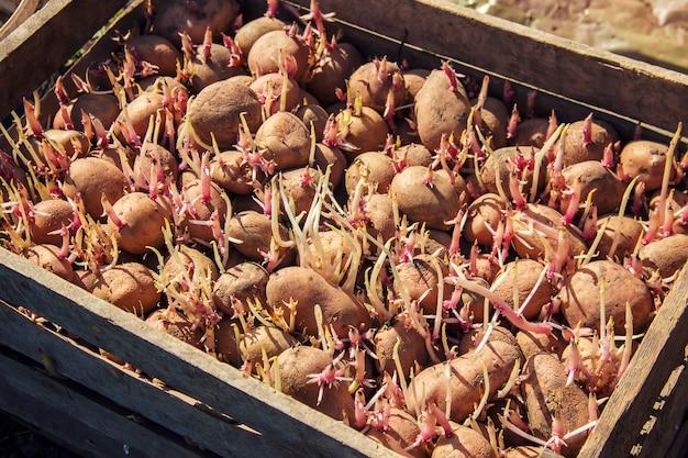 Piantare patate giardino. messa a fuoco selettiva. cibo organico.