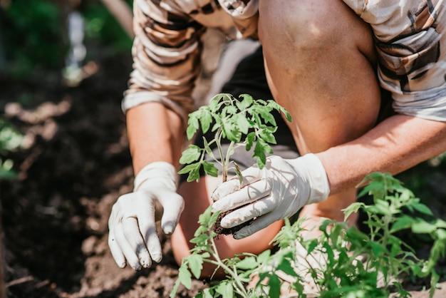 Piantare piantine di pomodoro con le mani di un contadino attento nel loro giardino