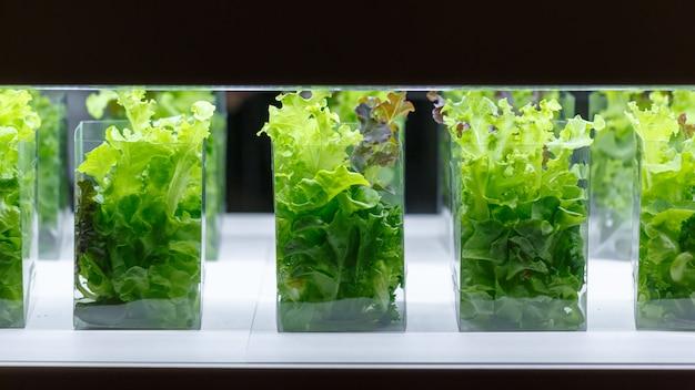 Piante acquatiche di lattuga di quercia verde in una stanza di coltura tissutale
