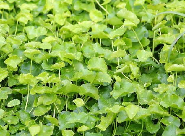 Piante asiatiche fresche di centella verde con goccia di acqua sulla foglia nel giardino della natura