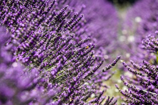 Piante da fiore viola di lavandula che crescono in mezzo al campo