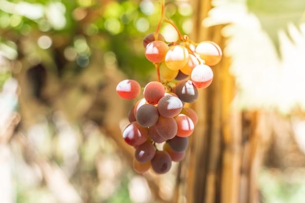 Piante da frutto dell'uva rossa all'aperto dal tramonto.